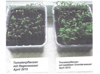 Tomaten gedeihen bei Ute Haverkamp – 38704 Liebenburg mit GRANDER®-Wasser viel besser